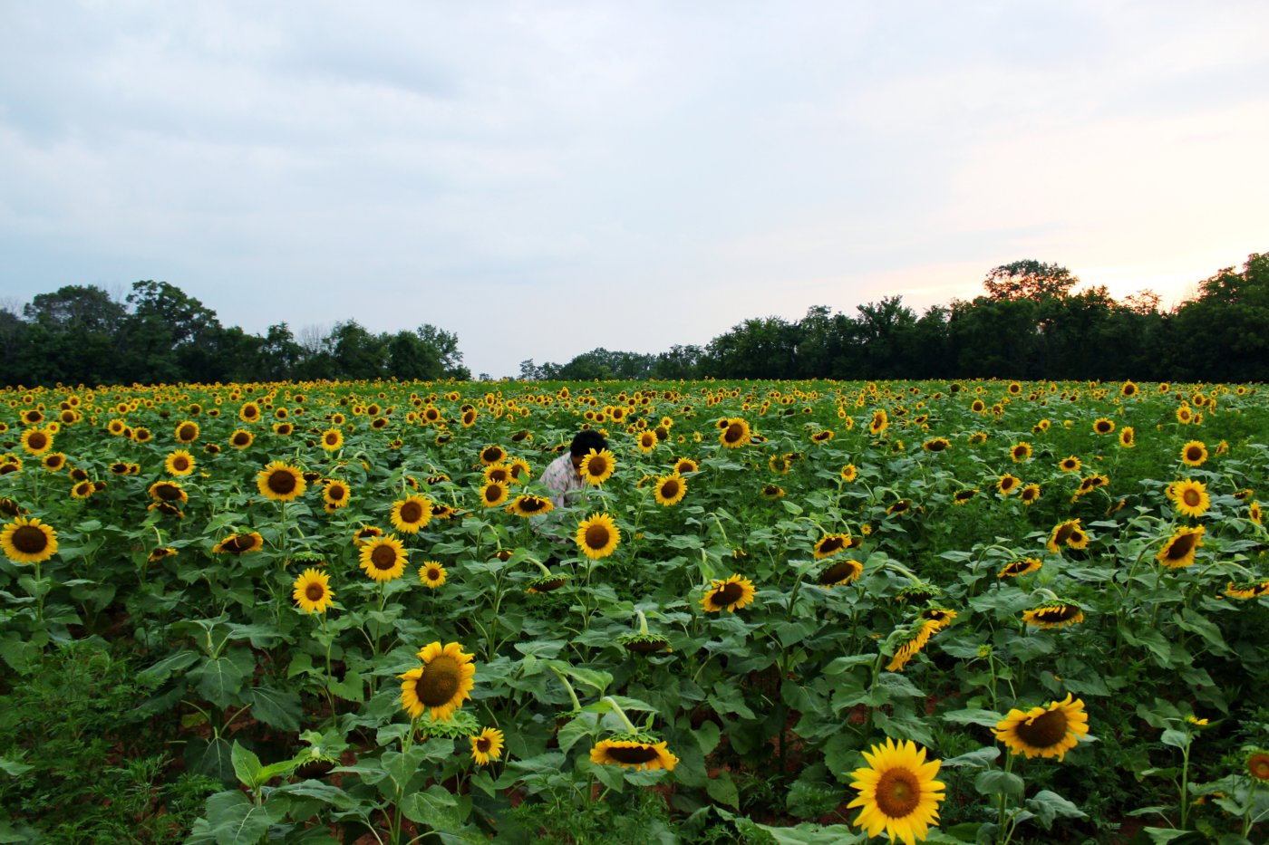 sunflower-sunset-at-mckee-beshers-maryland